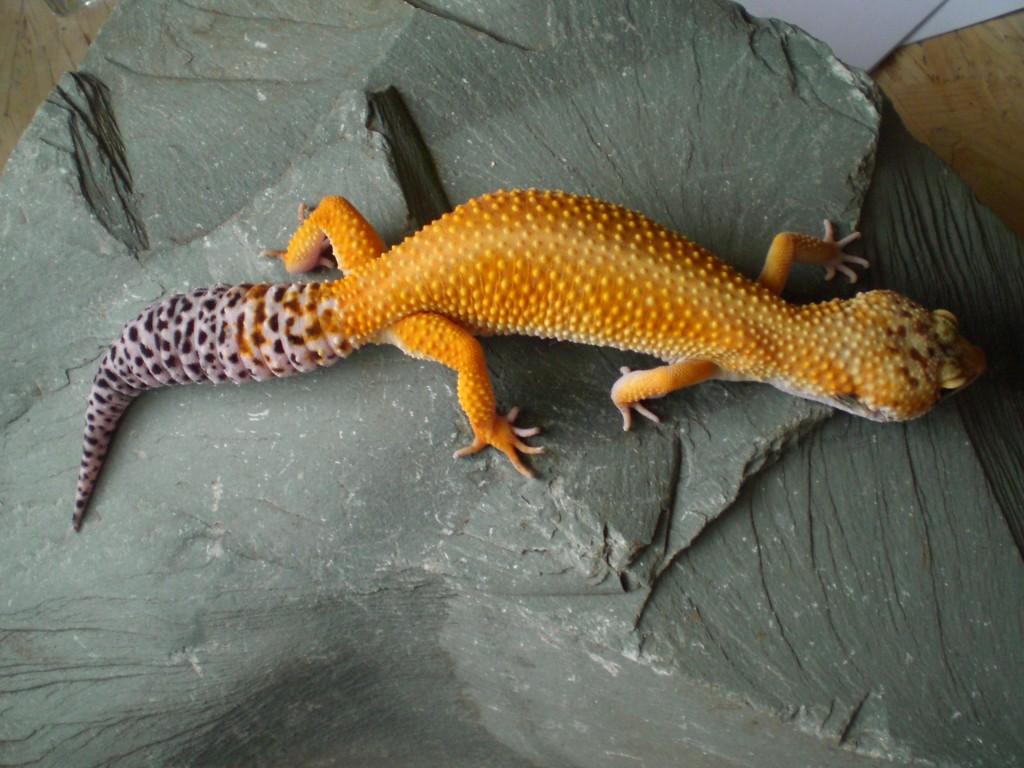 Super Hypo Tangerine - Cambridge Gecko